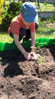Sadzenie pomidorów- Sówki